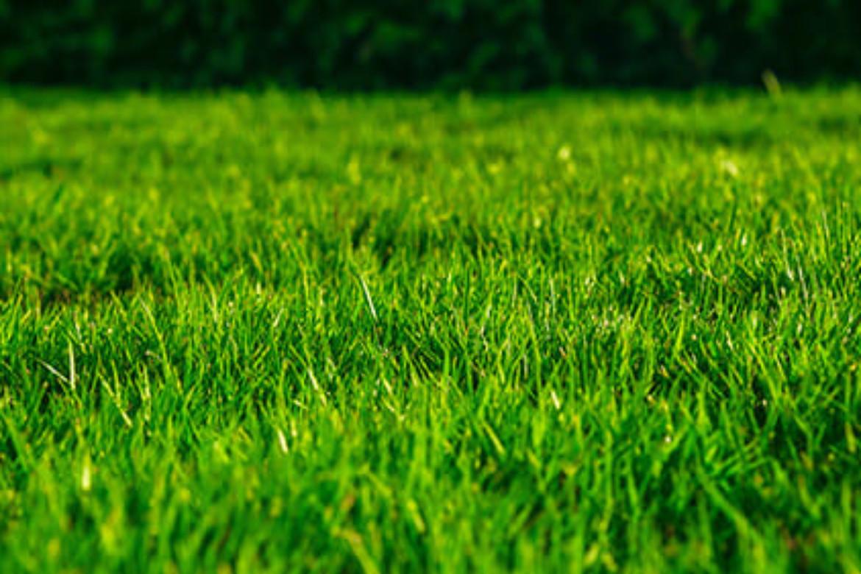 Cosa seminare a settembre: la scelta del miscuglio per il tappeto erboso